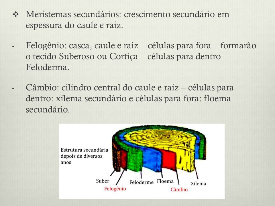 Meristemas secundários: crescimento secundário em espessura do caule e raiz.
