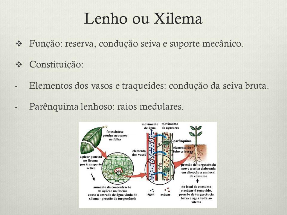 Lenho ou Xilema Função: reserva, condução seiva e suporte mecânico.