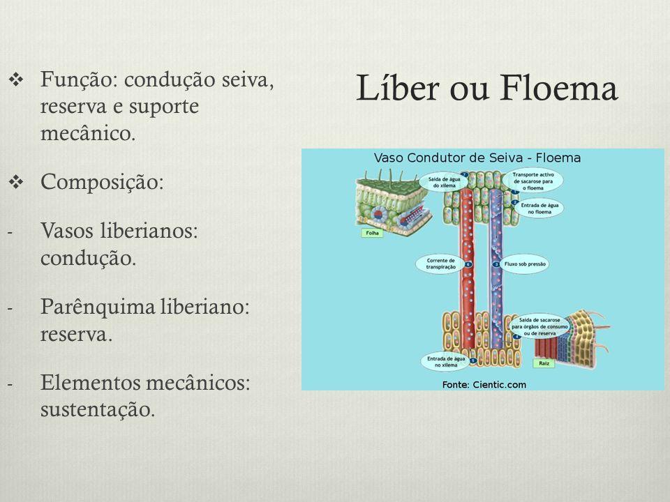Líber ou Floema Função: condução seiva, reserva e suporte mecânico.