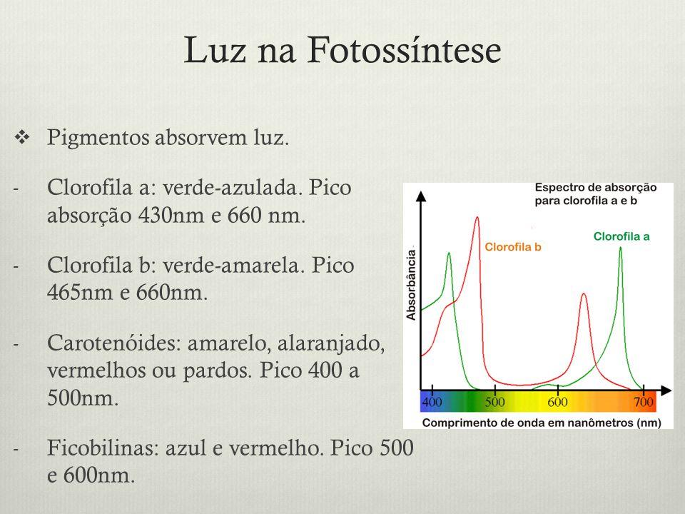 Luz na Fotossíntese Pigmentos absorvem luz.