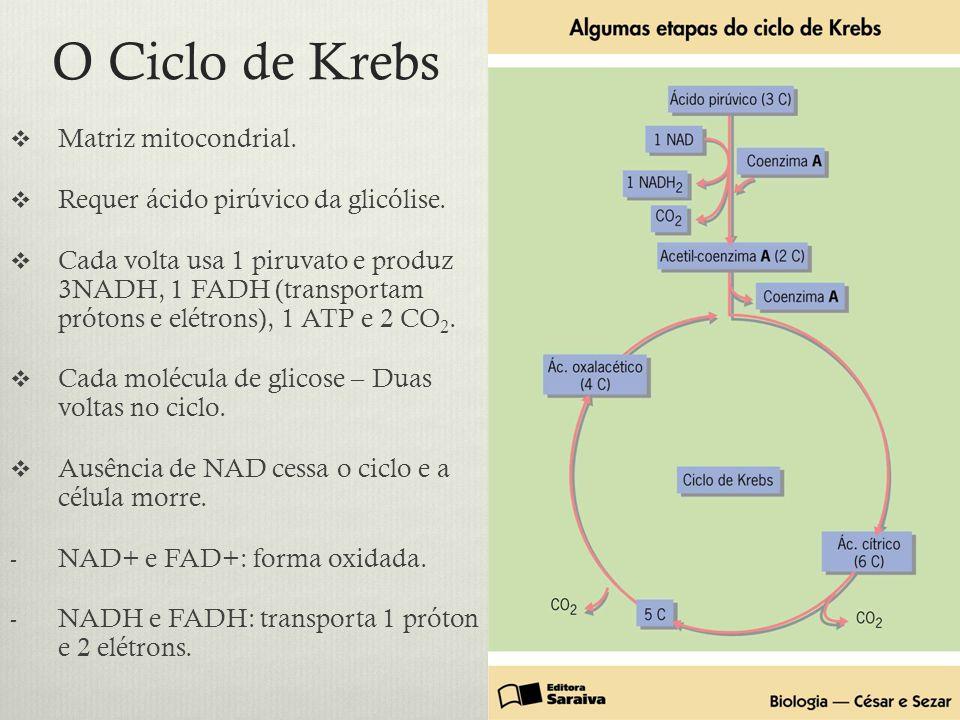 O Ciclo de Krebs Matriz mitocondrial.