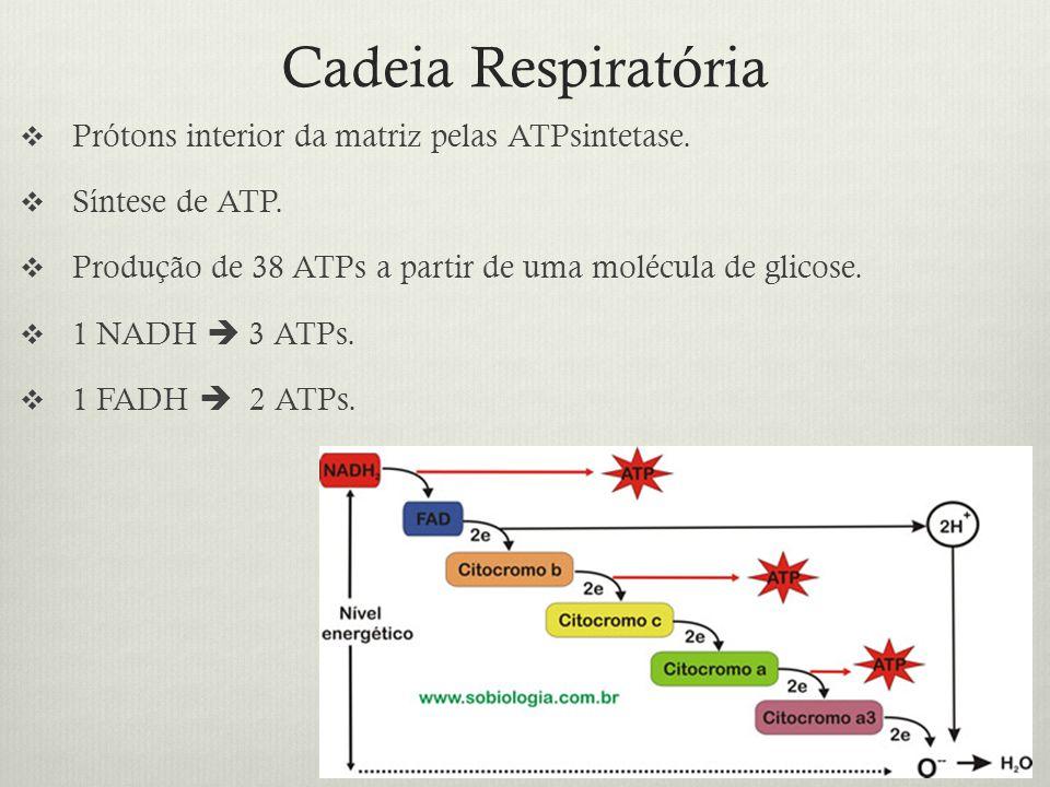 Cadeia Respiratória Prótons interior da matriz pelas ATPsintetase.