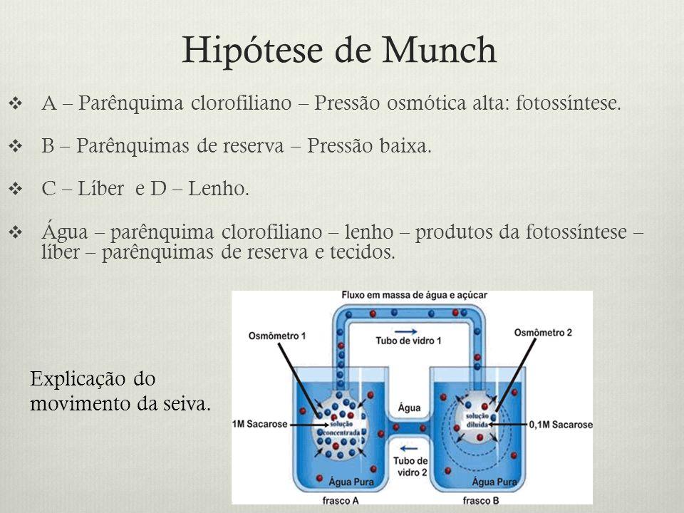 Hipótese de Munch A – Parênquima clorofiliano – Pressão osmótica alta: fotossíntese. B – Parênquimas de reserva – Pressão baixa.