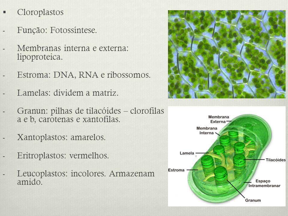 Cloroplastos Função: Fotossíntese. Membranas interna e externa: lipoproteica. Estroma: DNA, RNA e ribossomos.