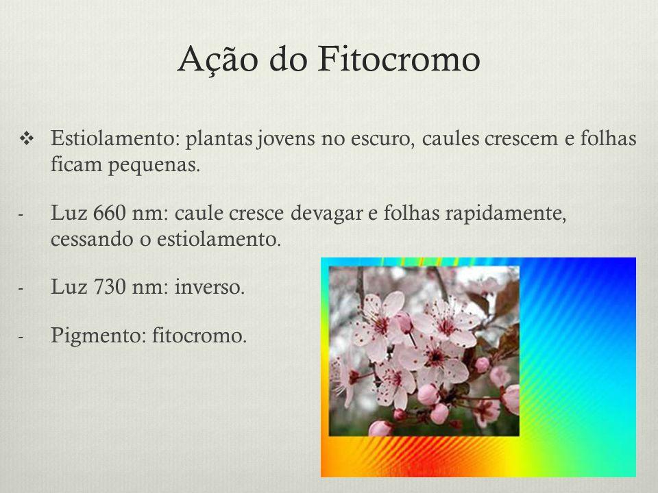 Ação do Fitocromo Estiolamento: plantas jovens no escuro, caules crescem e folhas ficam pequenas.