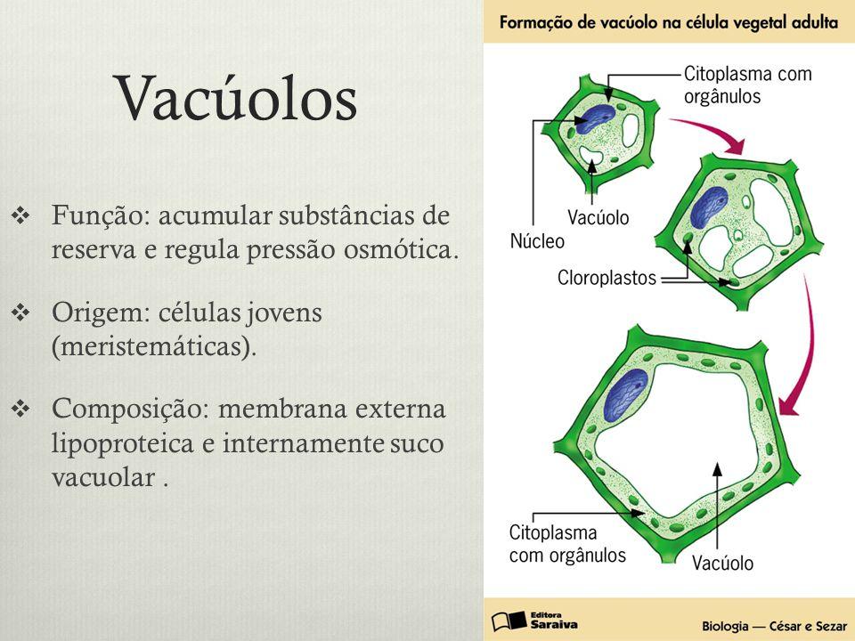 Vacúolos Função: acumular substâncias de reserva e regula pressão osmótica. Origem: células jovens (meristemáticas).