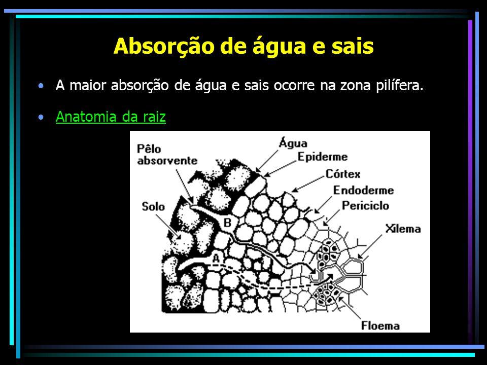 Absorção de água e sais A maior absorção de água e sais ocorre na zona pilífera. Anatomia da raiz