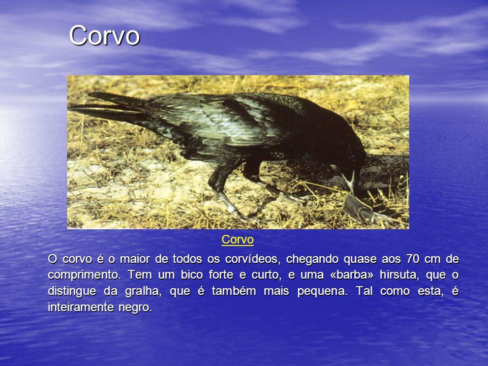 Corvo Corvo.
