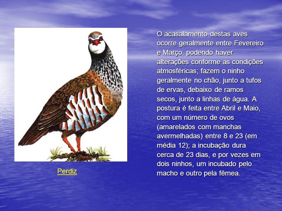 O acasalamento destas aves ocorre geralmente entre Fevereiro e Março, podendo haver alterações conforme as condições atmosféricas; fazem o ninho geralmente no chão, junto a tufos de ervas, debaixo de ramos secos, junto a linhas de água. A postura é feita entre Abril e Maio, com um número de ovos (amarelados com manchas avermelhadas) entre 8 e 23 (em média 12); a incubação dura cerca de 23 dias, e por vezes em dois ninhos, um incubado pelo macho e outro pela fêmea.