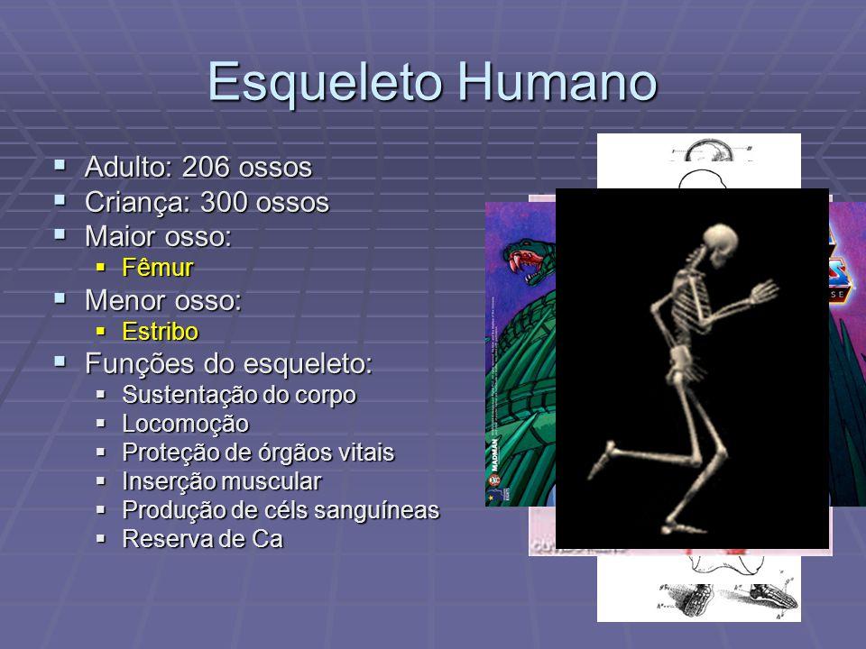 Esqueleto Humano Adulto: 206 ossos Criança: 300 ossos Maior osso: