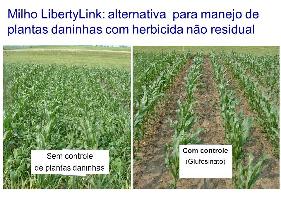 Milho LibertyLink: alternativa para manejo de plantas daninhas com herbicida não residual