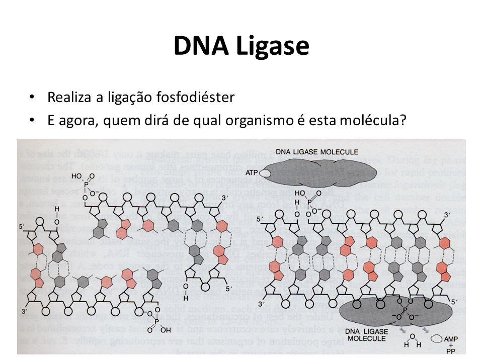 DNA Ligase Realiza a ligação fosfodiéster