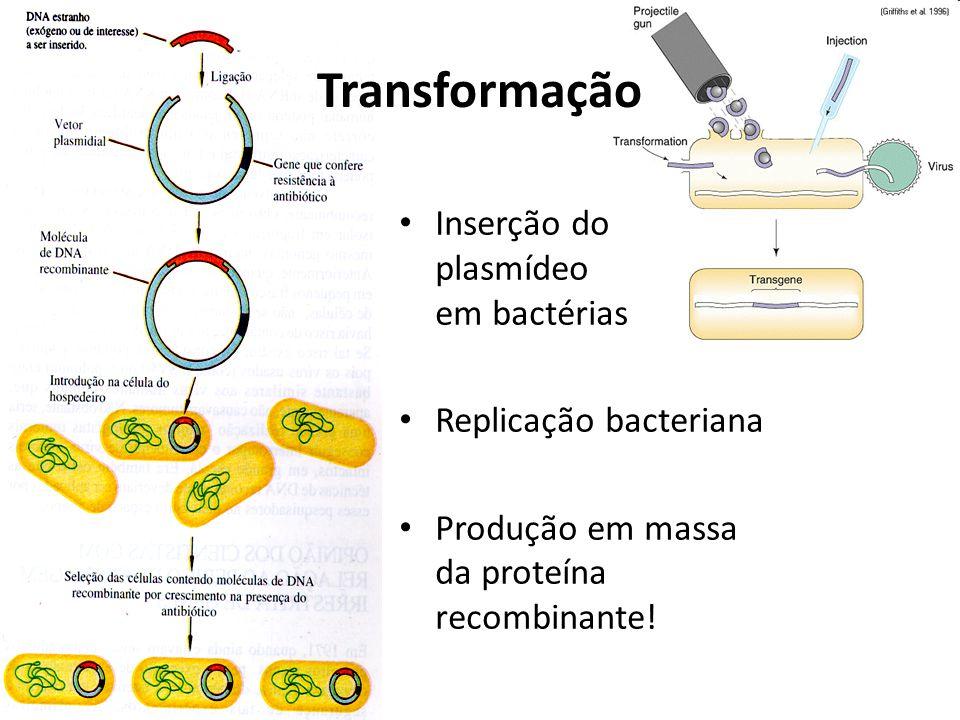 Transformação Inserção do plasmídeo em bactérias Replicação bacteriana