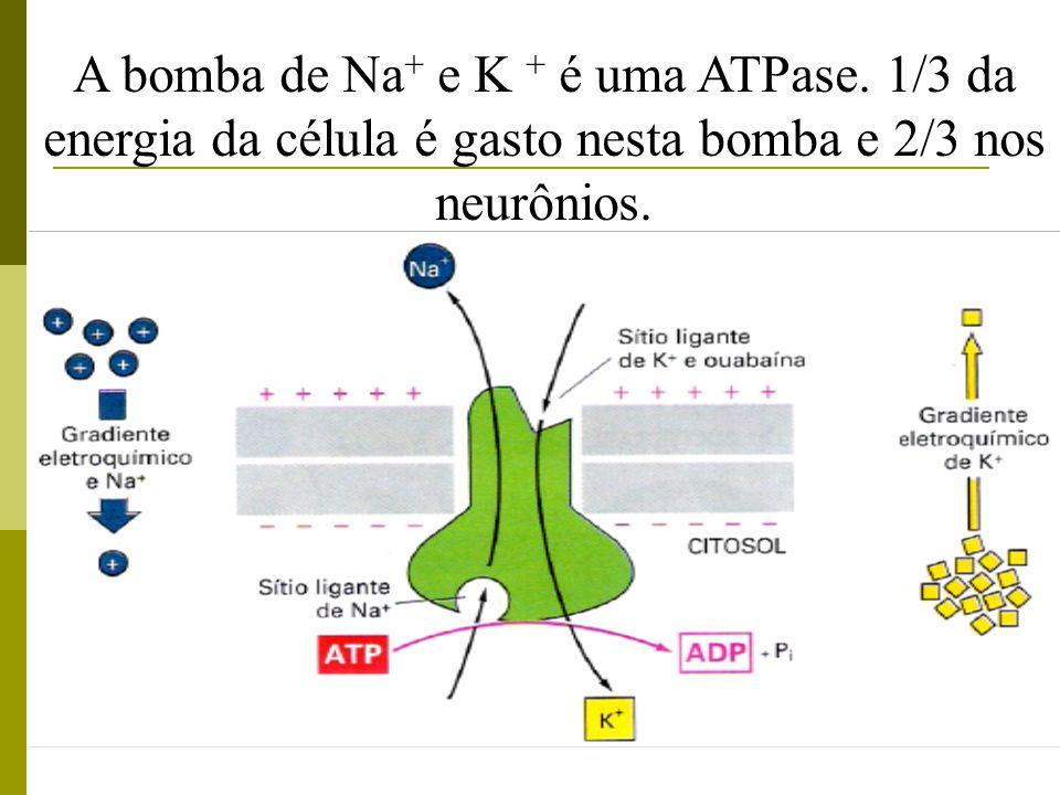 A bomba de Na+ e K + é uma ATPase