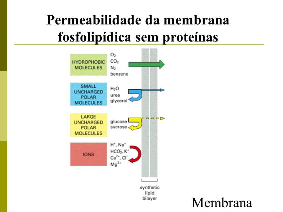 Permeabilidade da membrana fosfolipídica sem proteínas