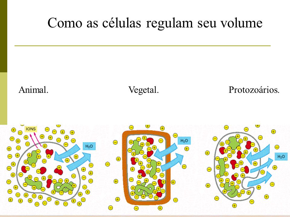 Como as células regulam seu volume