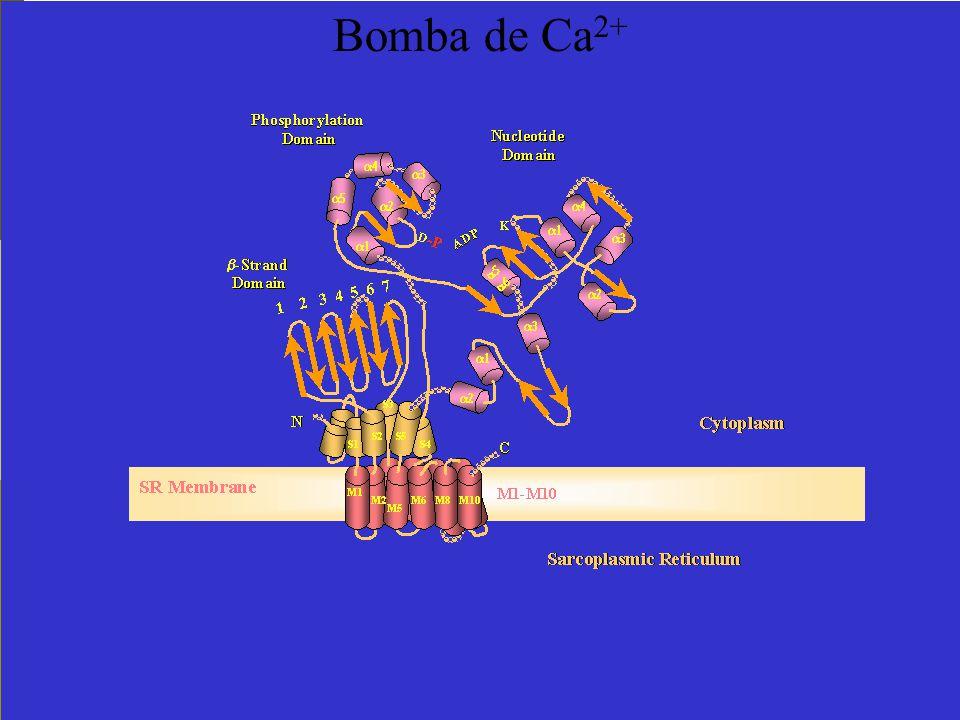 Bomba de Ca2+