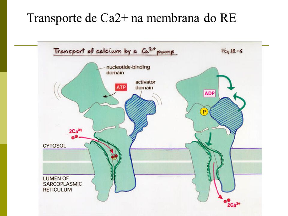 Transporte de Ca2+ na membrana do RE