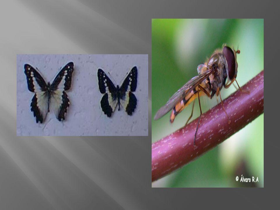 O inseto da direita é uma mosca que parece muito com uma vespa de sabor desagradável.