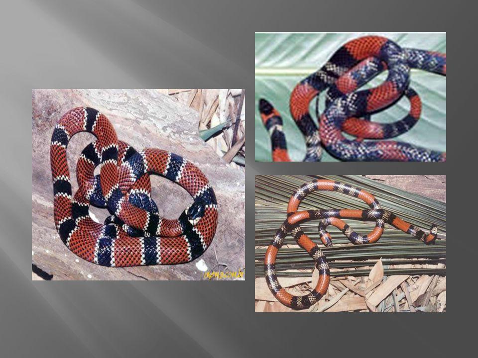 Apenas uma das cobras é a coral verdadeira.