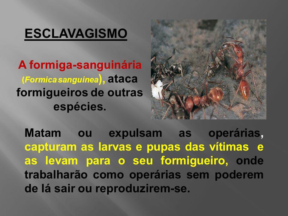 ESCLAVAGISMO A formiga-sanguinária (Formica sanguinea), ataca formigueiros de outras espécies.