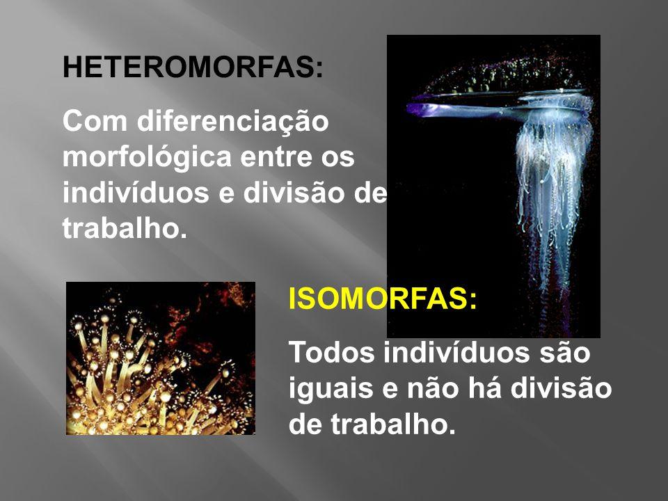 HETEROMORFAS: Com diferenciação morfológica entre os indivíduos e divisão de trabalho. ISOMORFAS: