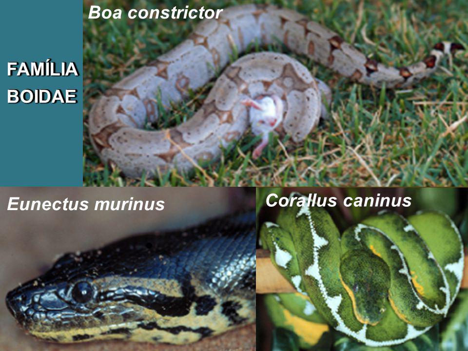 Boa constrictor FAMÍLIA BOIDAE Corallus caninus Eunectus murinus