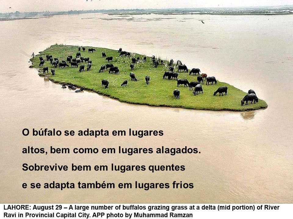 O búfalo se adapta em lugares