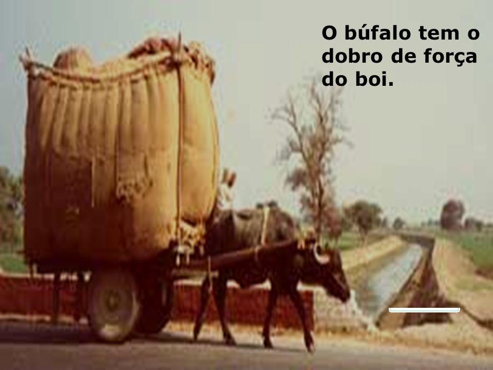 O búfalo tem o dobro de força do boi.
