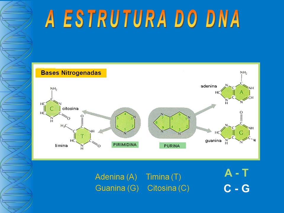 A ESTRUTURA DO DNA A - T C - G Adenina (A) Timina (T)
