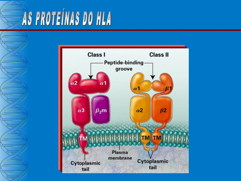 AS PROTEÍNAS DO HLA