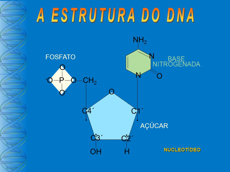 A ESTRUTURA DO DNA NH2 N O -O P O CH2 O- C4´ C1´ C3´ C2´ OH H FOSFATO