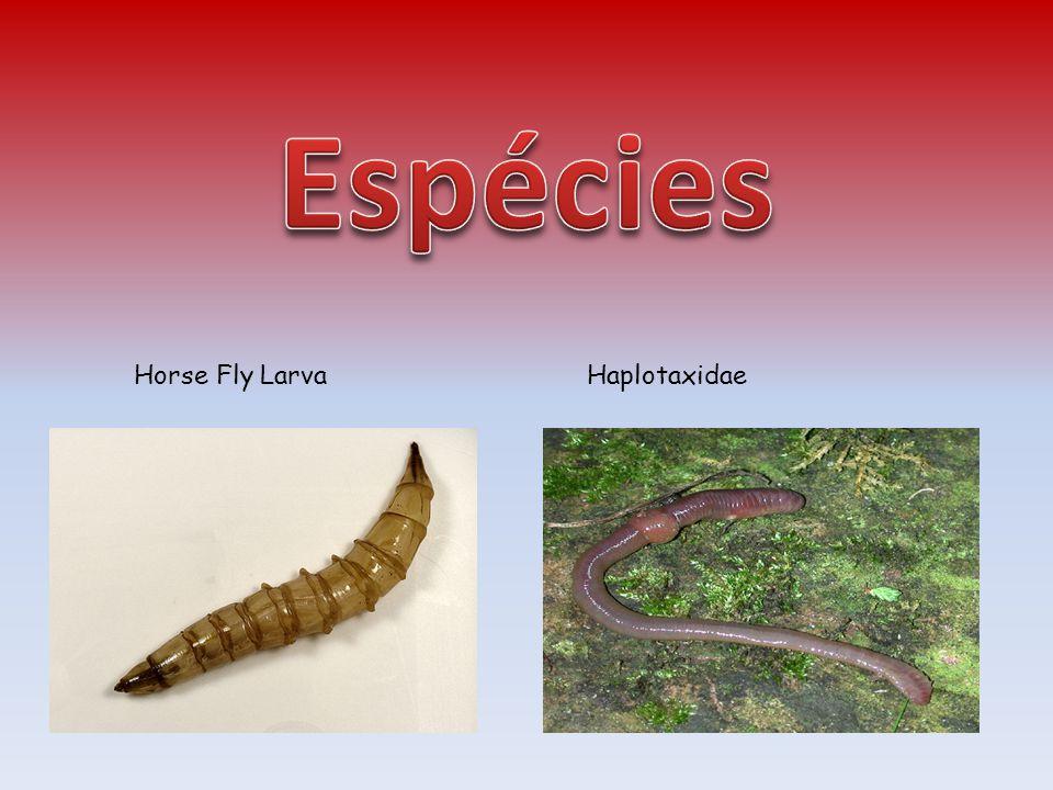 Espécies Horse Fly Larva Haplotaxidae