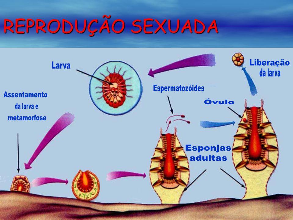 REPRODUÇÃO SEXUADA Liberação da larva Espermatozóides Assentamento