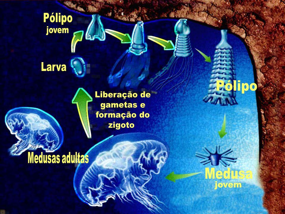 Pólipo jovem Larva Pólipo Liberação de gametas e formação do zigoto
