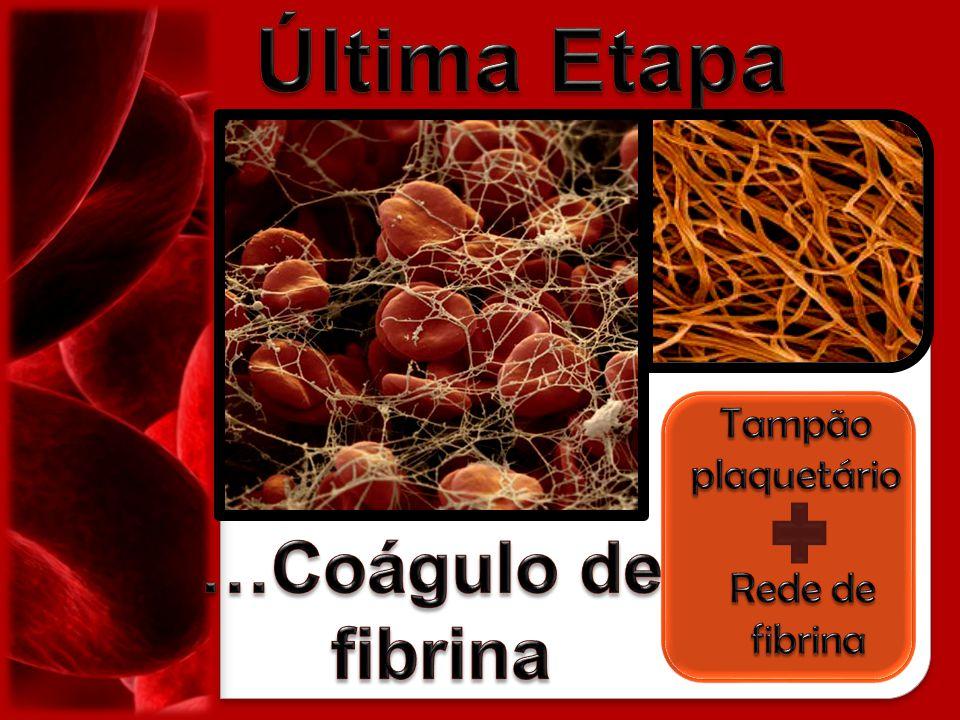 Última Etapa …Coágulo de fibrina Tampão plaquetário Rede de fibrina