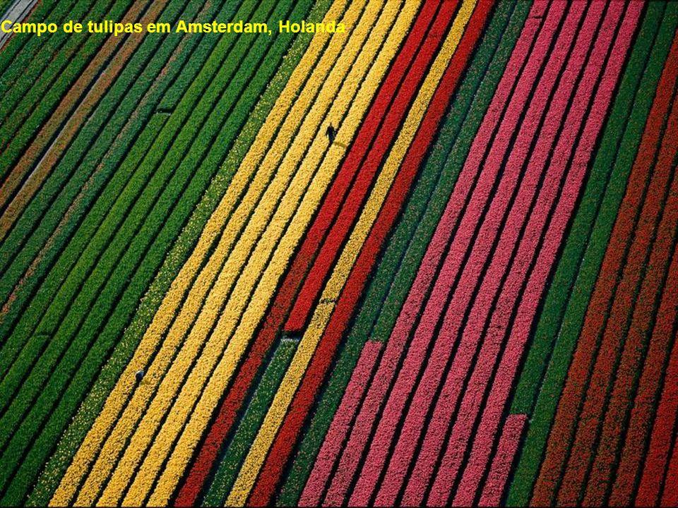 Campo de tulipas em Amsterdam, Holanda