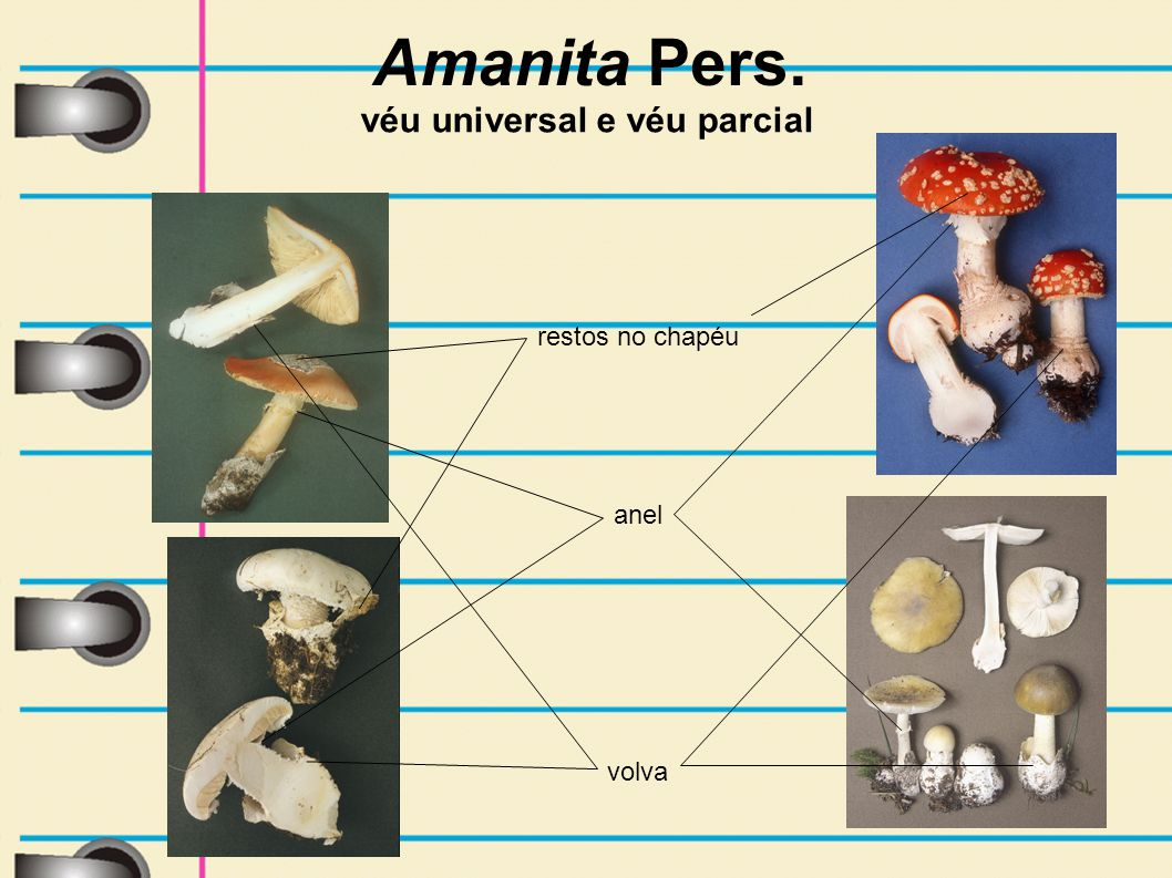 Amanita Pers. véu universal e véu parcial restos no chapéu anel volva