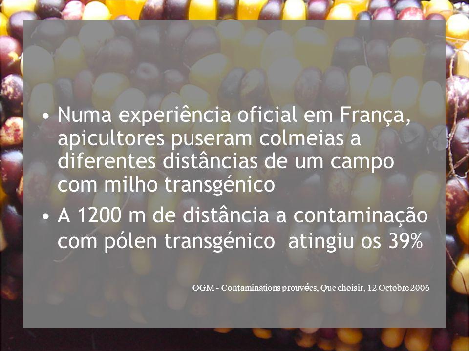 Numa experiência oficial em França, apicultores puseram colmeias a diferentes distâncias de um campo com milho transgénico