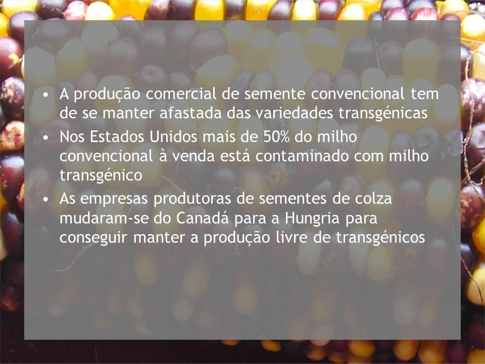 A produção comercial de semente convencional tem de se manter afastada das variedades transgénicas