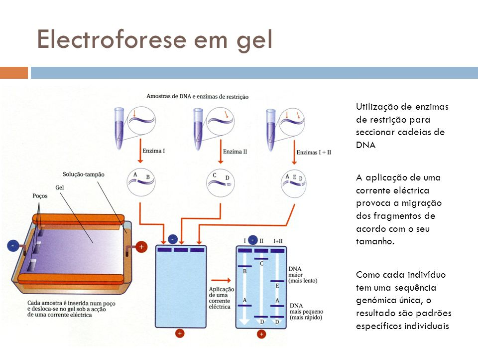 Electroforese em gel Utilização de enzimas de restrição para seccionar cadeias de DNA.