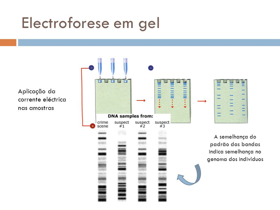 Electroforese em gel Aplicação da corrente eléctrica nas amostras
