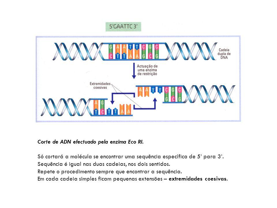 Corte de ADN efectuado pela enzima Eco RI.
