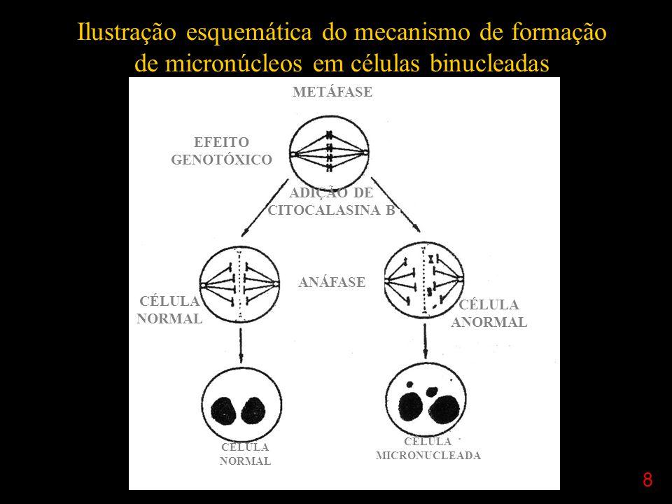 Ilustração esquemática do mecanismo de formação de micronúcleos em células binucleadas