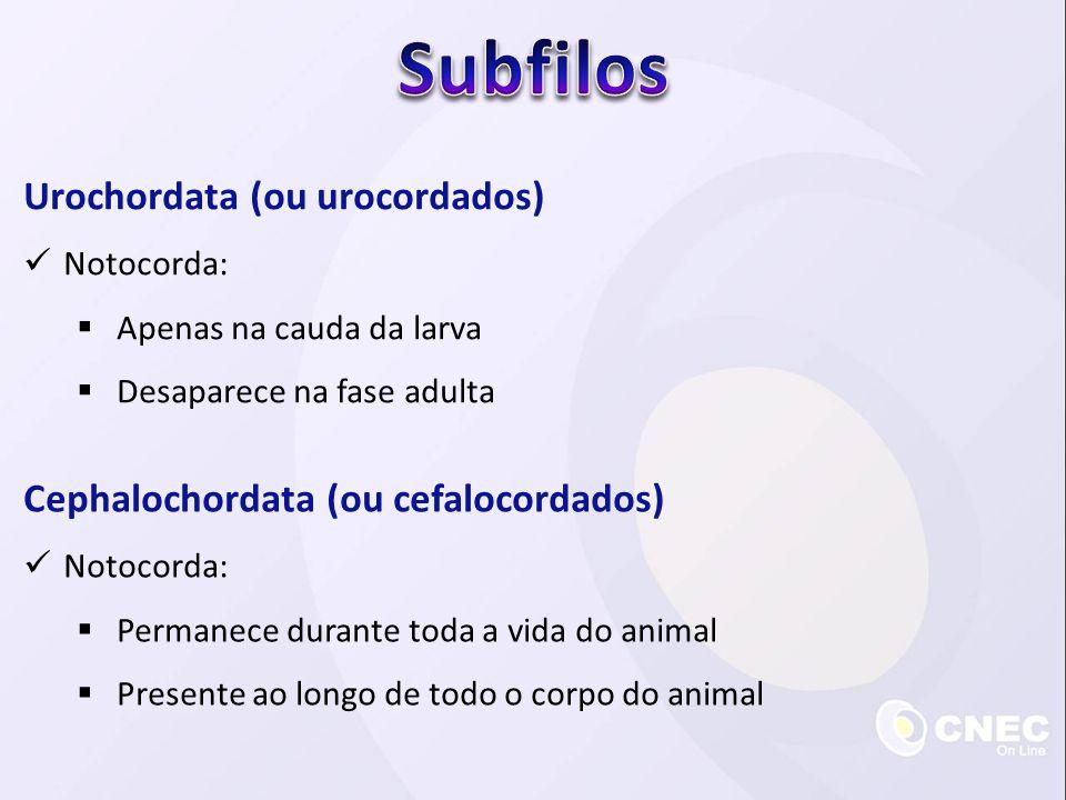 Subfilos Urochordata (ou urocordados)