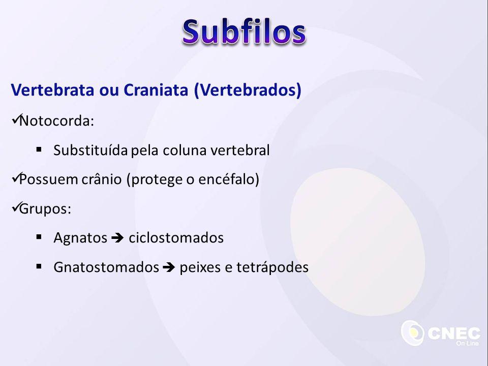 Subfilos Vertebrata ou Craniata (Vertebrados) Notocorda: