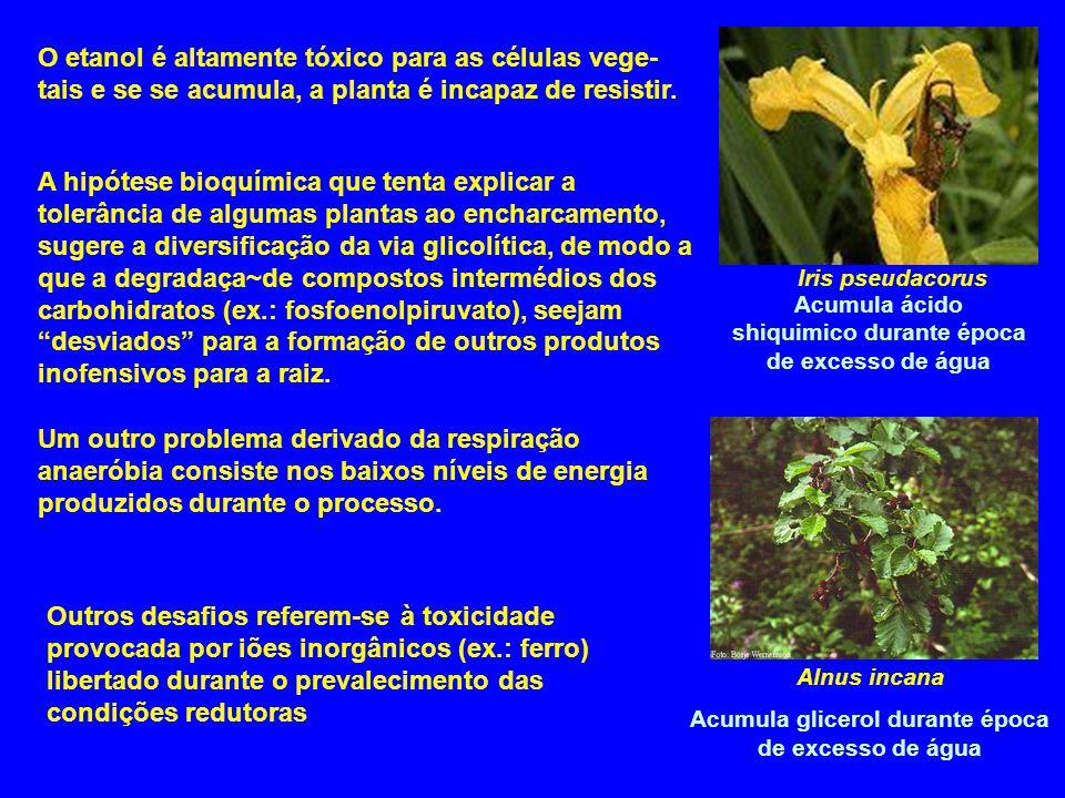 O etanol é altamente tóxico para as células vege-tais e se se acumula, a planta é incapaz de resistir.