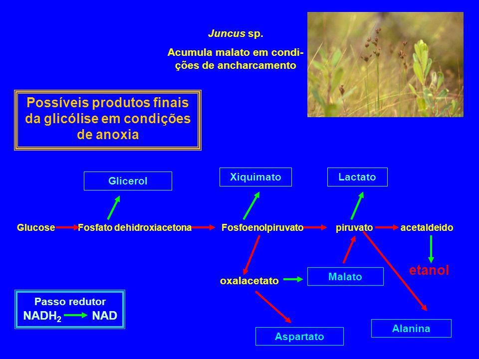 Possíveis produtos finais da glicólise em condições de anoxia etanol