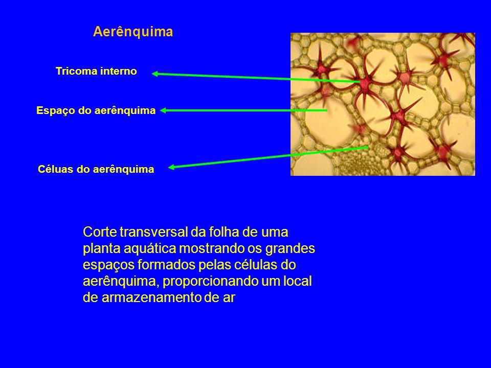 Aerênquima Tricoma interno. Espaço do aerênquima. Céluas do aerênquima.