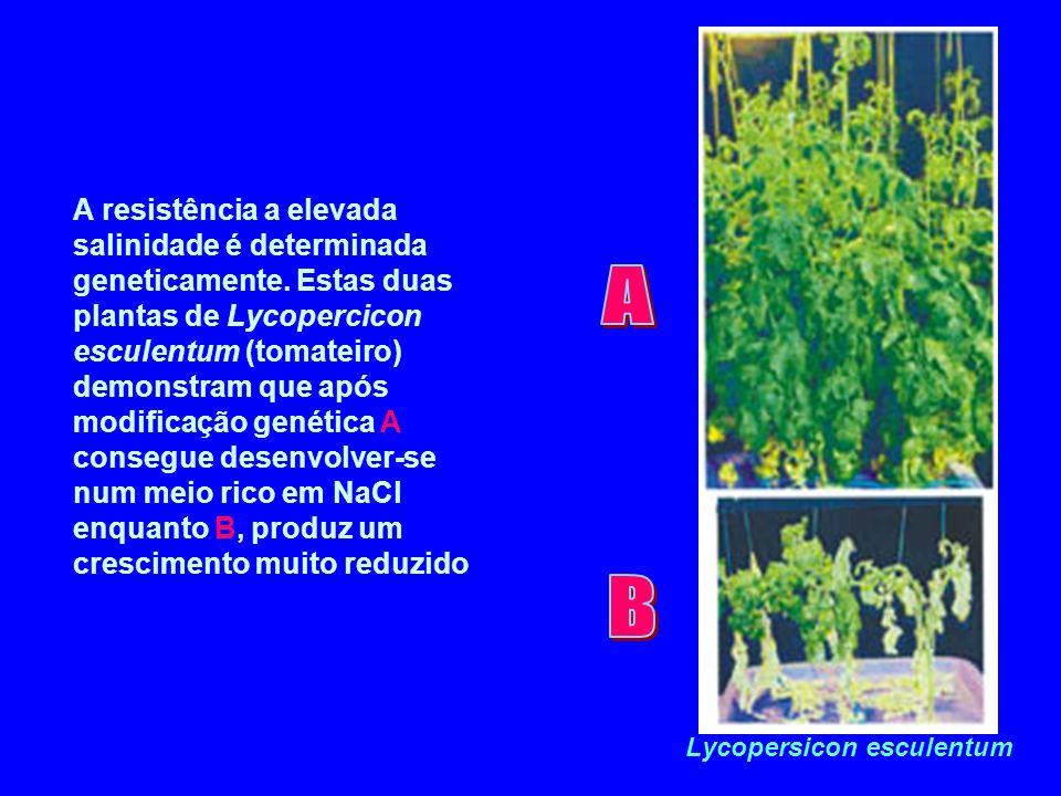 Lycopersicon esculentum